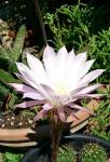 Echinopsis Cacti-fiore di cactus1