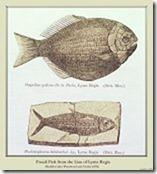 pentacrinus tuberculatus