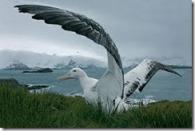 albatro