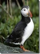 pulcinella di mare-puffin