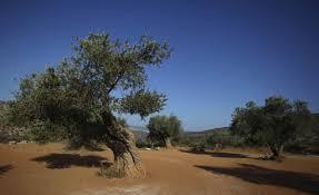 oliveti Israele