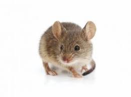 topolino domestico